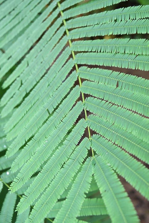 Hellgrüne Blätter des kletternden Zweigbaums, Akazie pennata (L ), THAILÄNDISCH stockbilder