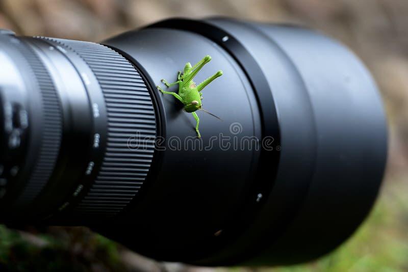 Hellgrüne Heuschrecken gehockt über dem Kameraobjektiv stockbilder