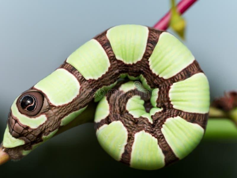 Hellgrüne Sphinx-Motte Caterpillar mit großem braunem Auge beschmutzen lizenzfreie stockfotografie