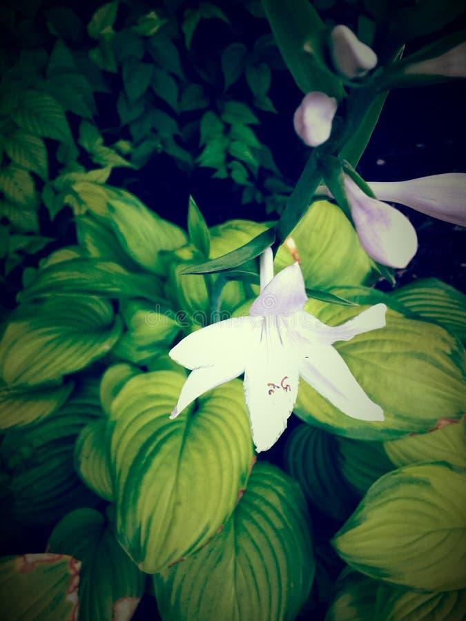 Hellgrüne und weiße Blume der Vignette lizenzfreie stockfotos