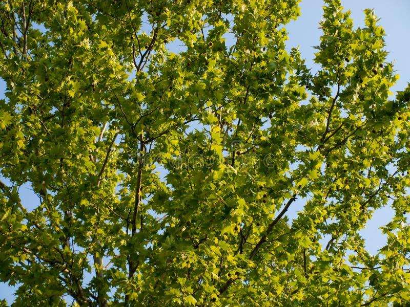 Hellgrüner Ahorn Treetop stockfotos