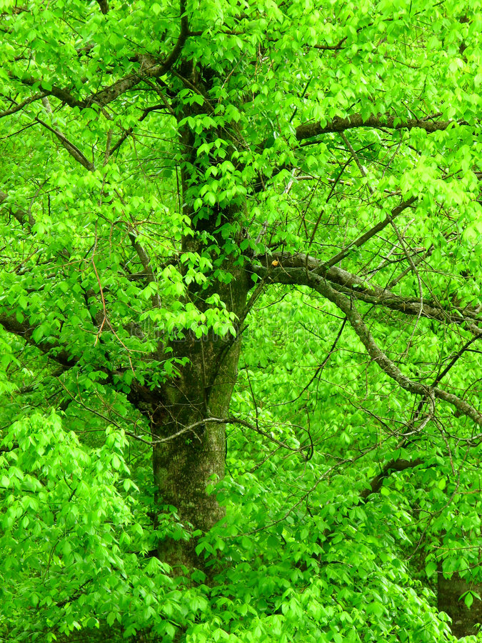 Hellgrüner Baum lizenzfreie stockfotografie