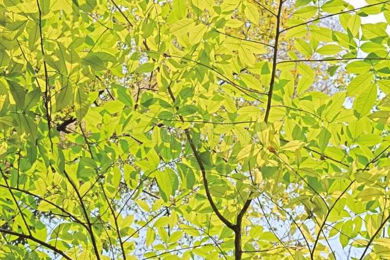 Hellgrüner Blatthintergrund am sonnigen Tag lizenzfreie stockfotos