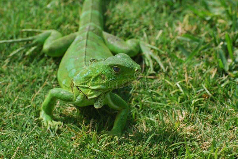 Hellgrüner Leguan im Gras lizenzfreies stockfoto
