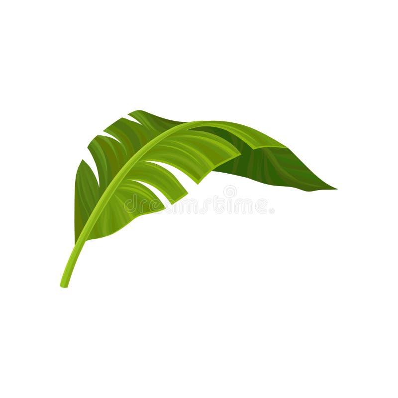 Hellgrünes gebogenes Blatt der BananenPalme Tropisches Thema Natürliches Element Buntes Grafikdesign für Druck lizenzfreie abbildung