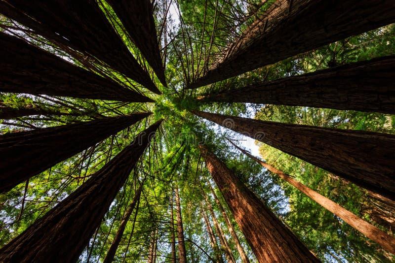 Hellgrünes Laub schafft Kreismuster von Küstenrotholzbäumen. lizenzfreie stockfotografie