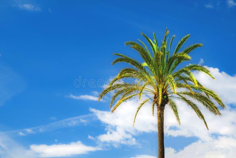 Hellgrünes palmtree auf einem Hintergrund des blauen Himmels stockbild