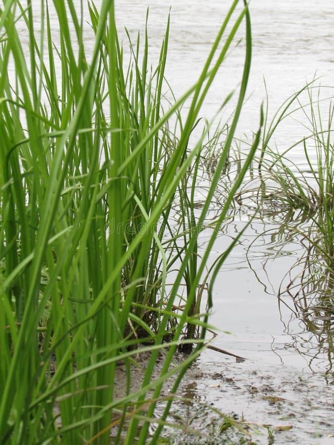 Hellgrünes saftiges Flussgras auf der Bank des Flusses des Sees wächst vor dem hintergrund des Wassers auf der Bank lizenzfreie stockbilder