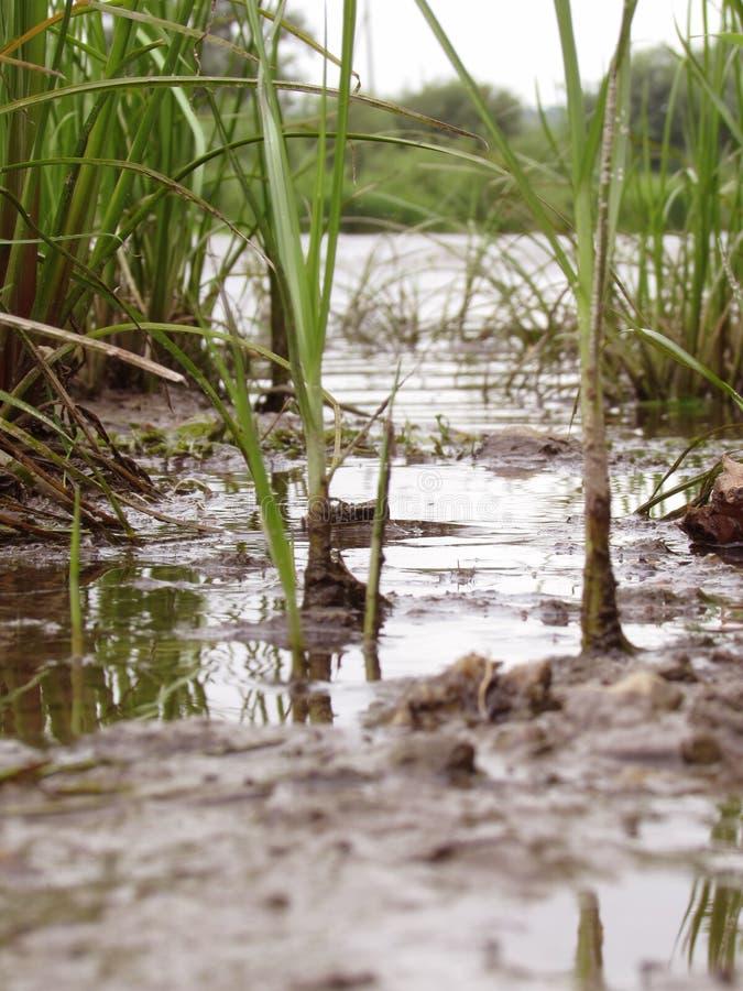 Hellgrünes saftiges Flussgras mit schmutzigen schwarzen Wurzeln auf der Bank des Flusses des Sees wächst stockbild