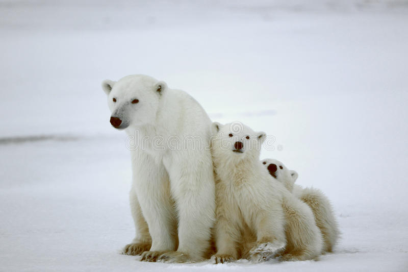 Polar she-bear with cubs. White she-bear with cubs. A Polar she-bear with two small bear cubs. Around snow