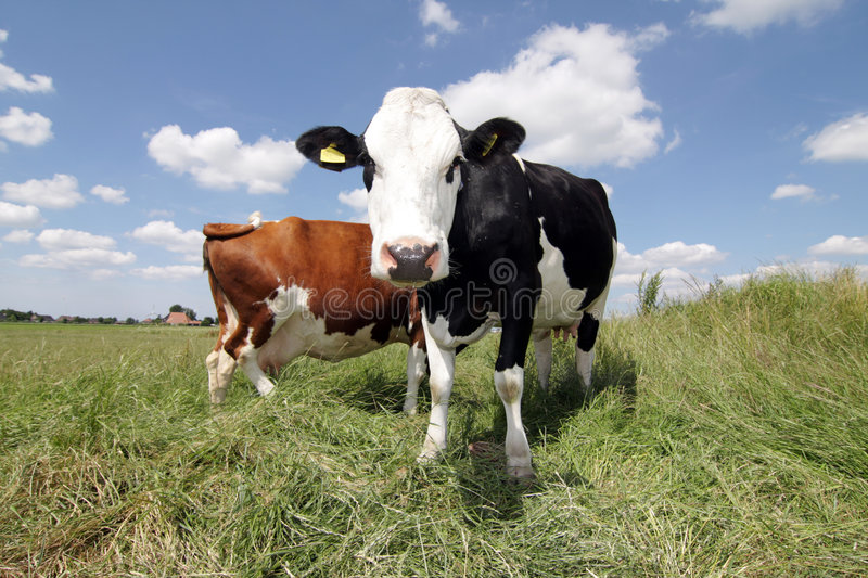 Download Hello Cow Stock Photography - Image: 6562392