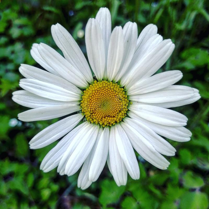 Hello. Flower, whiteflower, plant, garden, closeup, petals, flowers stock images