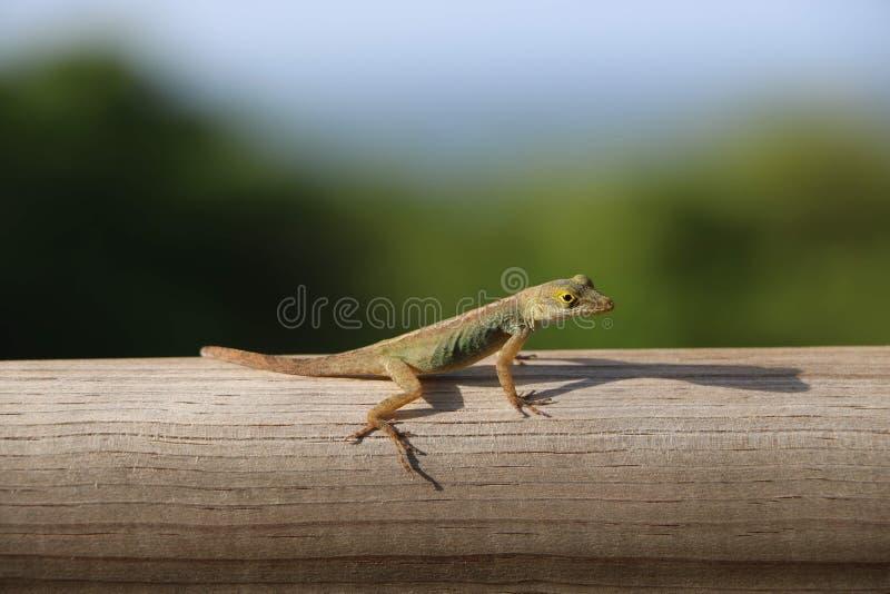 Hello little lizard royalty free stock photos
