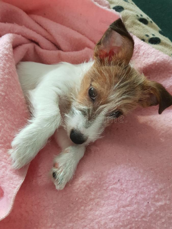 Jack Russell Puppy Very Cute,My Blanket Go Away royalty free stock photo
