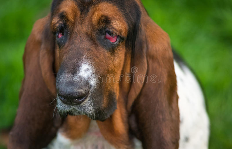 Hello says Sad Eyes. One year old Basset hound (Canis lupus familiaris) in the yard of a hobby farm. Spotted patchy and multi toned hound dog with floppy ears royalty free stock photography