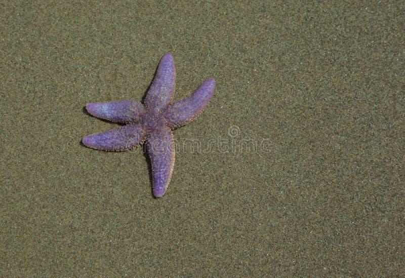 Hello sjöstjärna som isoleras på stranden arkivfoton