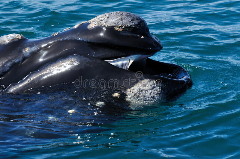 HELLO. A Southern right whale head showing it's calositie patern and baleen plates royalty free stock images