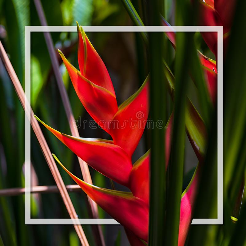 Hello Summer background concept. Beautiful caribbean Heliconia flower also popularly known as lobster-claw, wild plantain or false stock images