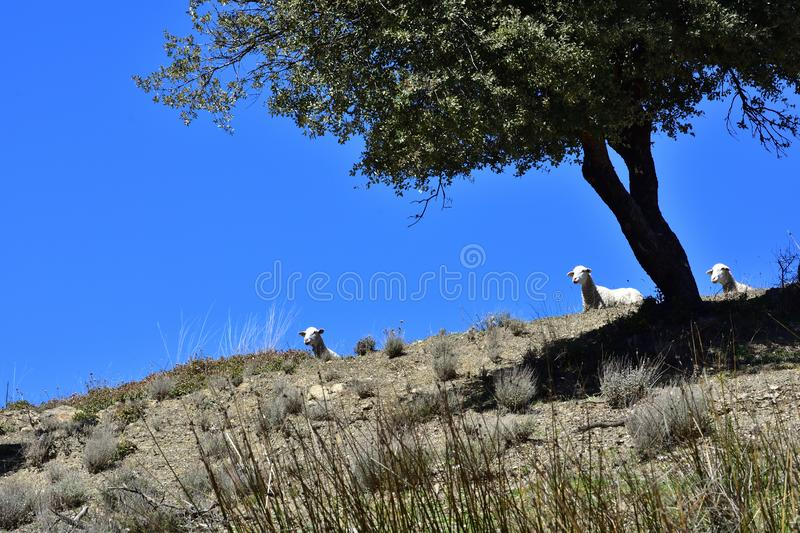 Three curious sheep peeking down a hill with a tree stock images
