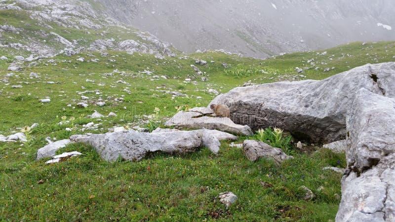 Hello weinig marmot stock afbeelding