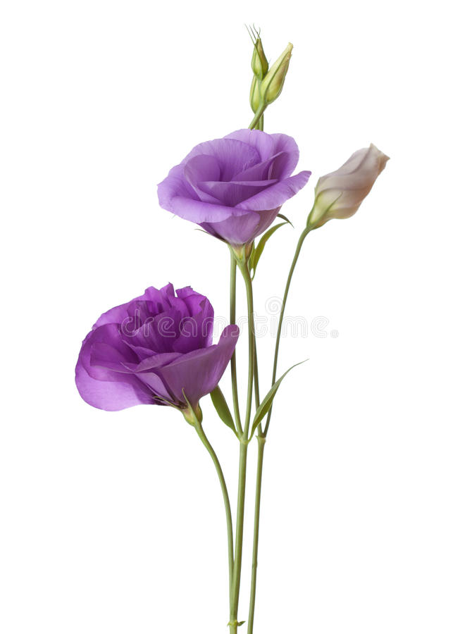 Hellpurpurne Blumen stockfotos