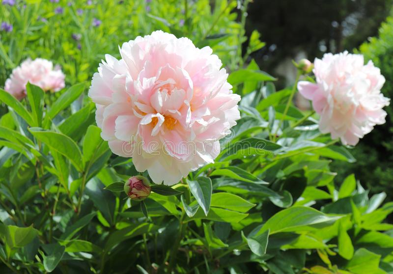 Hellrosa Pfingstrosen erhellen herauf den Garten im Frühjahr stockbild