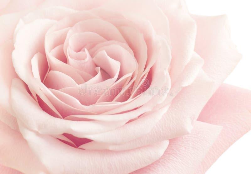 Hellrosa Rose Flower lizenzfreie stockfotografie