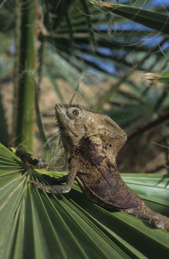 helmed鬣鳞蜥 免版税图库摄影