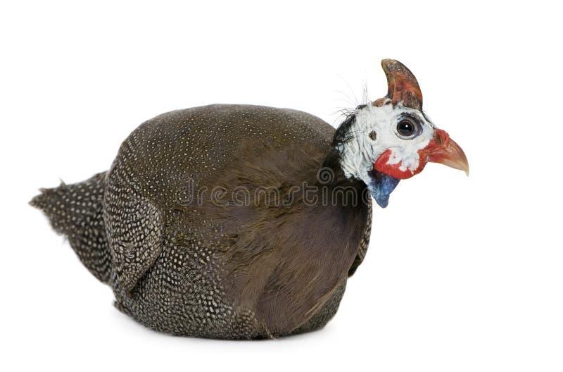 Download Helmeted Guinea Fowl - Numida Meleagris Stock Photo - Image of creature, blue: 5204146