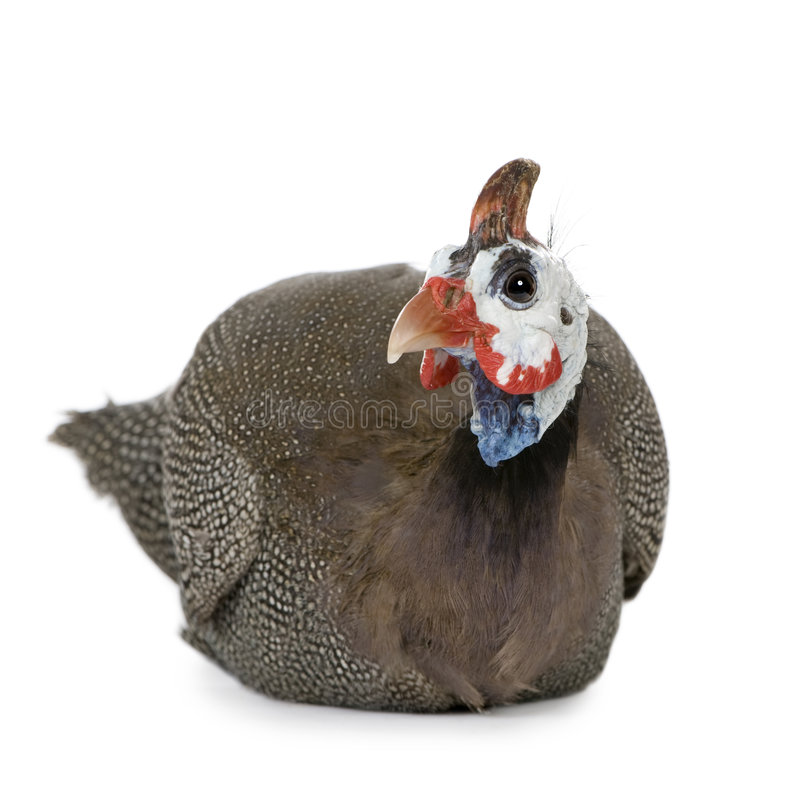 Free Helmeted Guinea Fowl - Numida Meleagris Stock Images - 5204154