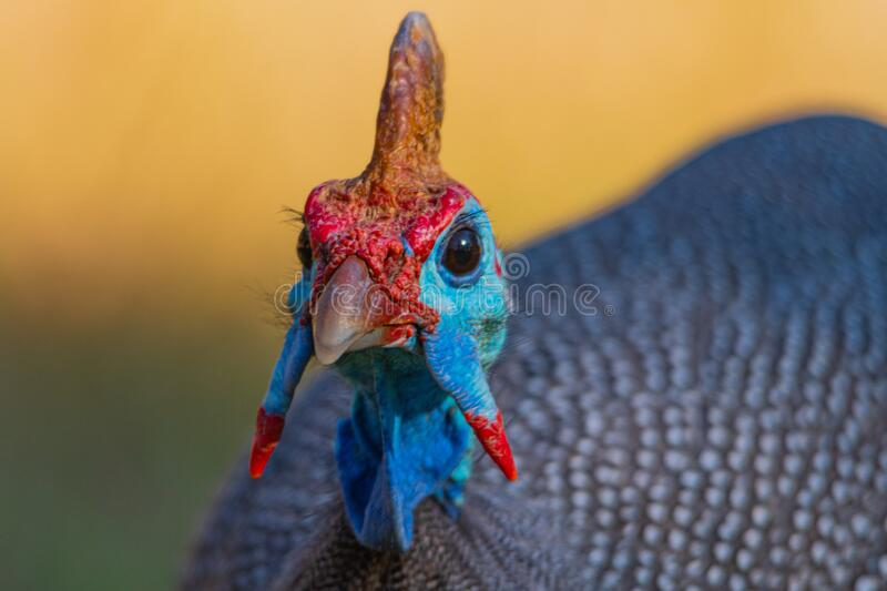 Helmeted Guinea Fowl. Seen on a safari in the Kruger National Park royalty free stock image
