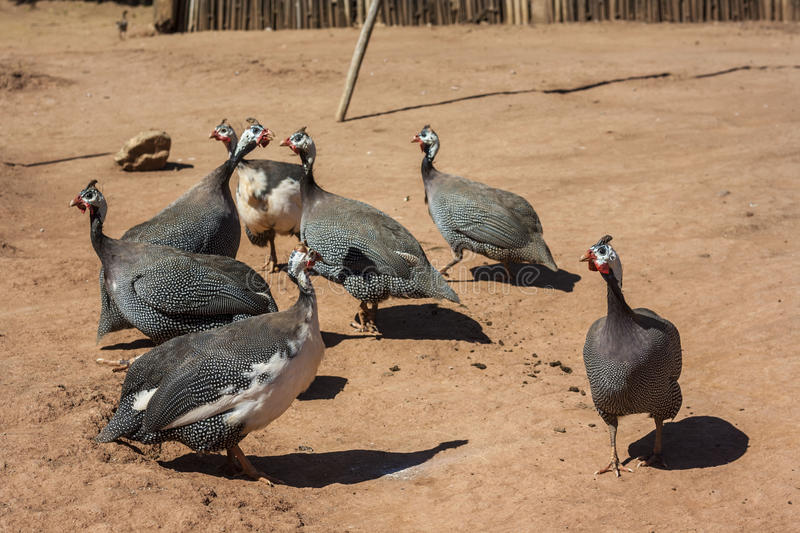 Helmeted Guineafowl Stock Photography