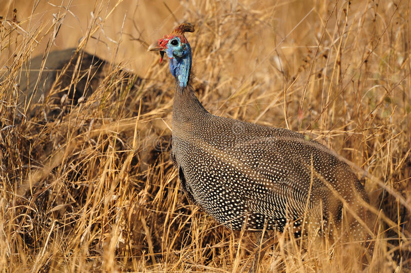 Download Helmeted Guineafowl (Numida Meleagris) Stock Images - Image: 21539414