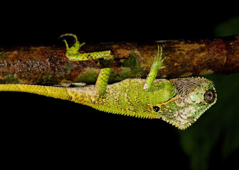 Free Helmeted Iguana Or Casque-headed Lizard Royalty Free Stock Photos - 26679268