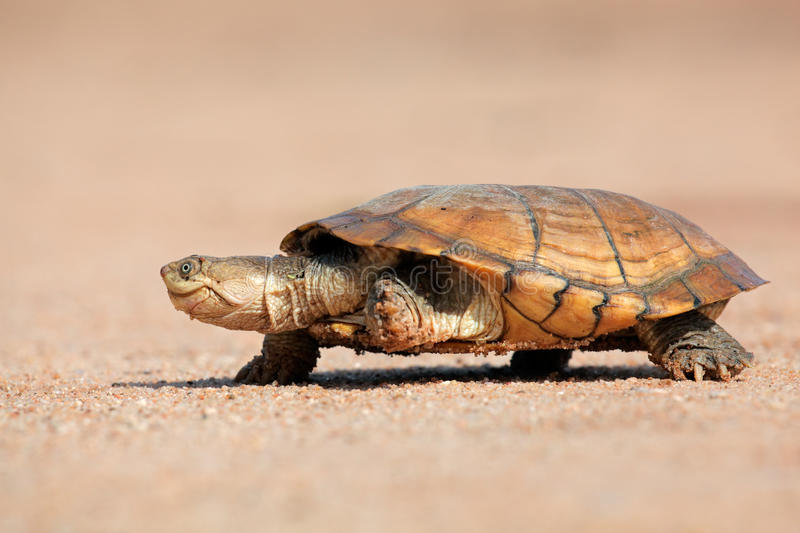 Helmeted terrapin royalty free stock image