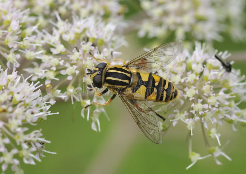 helophilus pendulus hoverfly sunfly стоковое фото rf