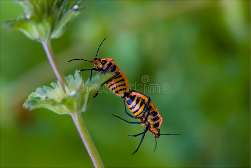 Download Help Me Two Insects Beetles Royalty Free Stock Photos - Image: 1994918