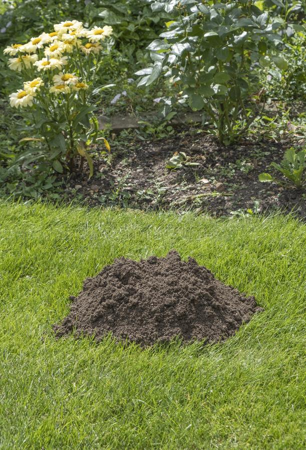 HELP there is a Mole in my garden. Closeup view of a pile of earth in the lawn dug by a mole stock photography