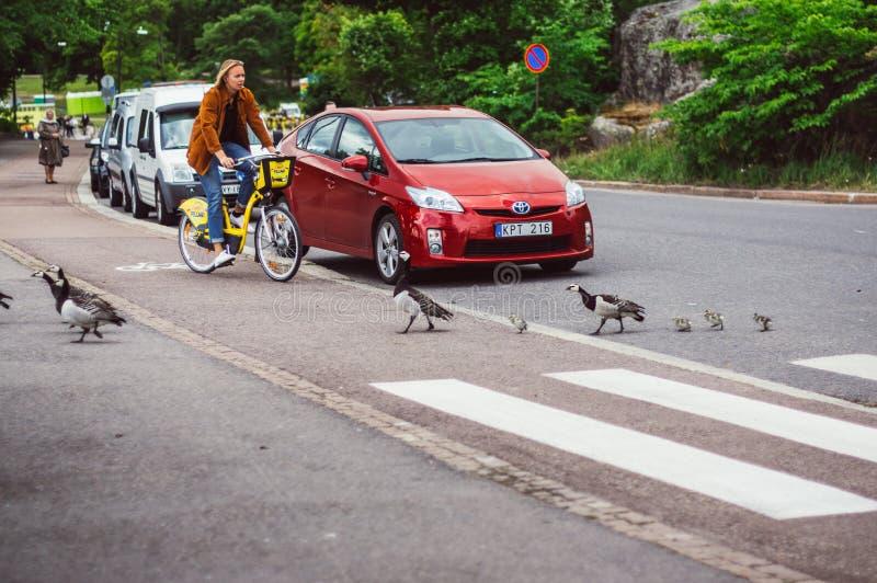 Helsinki, Finnland - 30. Juni 2018: Vögel mit den Nestlingen, die Straße durch Fußgängerübergang kreuzen stockfotografie