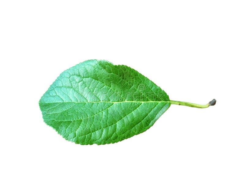 Helt blad av äpplet med stjälk som isoleras på en vit bakgrund, närbild Ett nytt enkelt äppleblad klippte ut med arkivbild