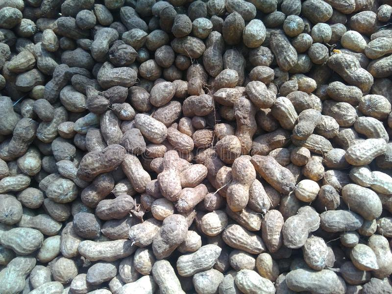Groundnut. Helthy Groundnut Group royalty free stock image