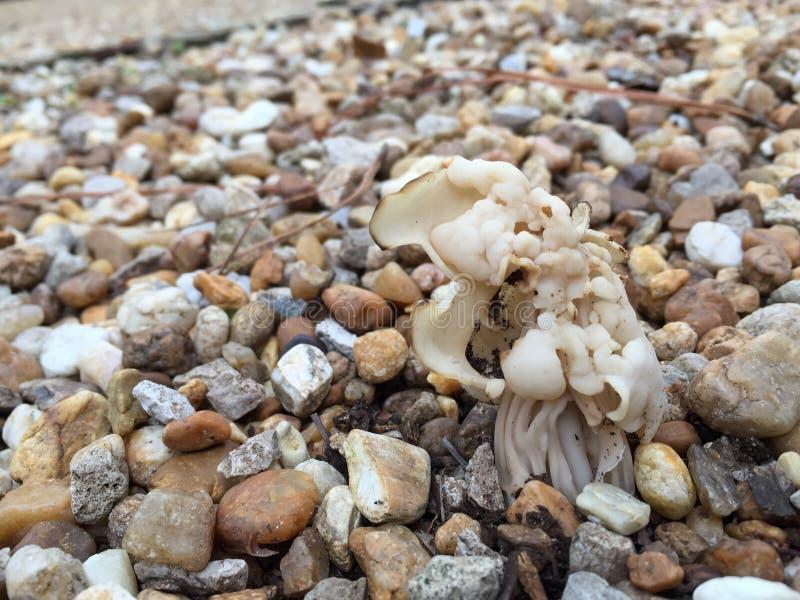 Helvella Crispa White Mushroom stock images