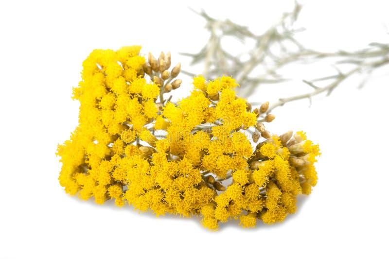 Helychrysum fotografia de stock