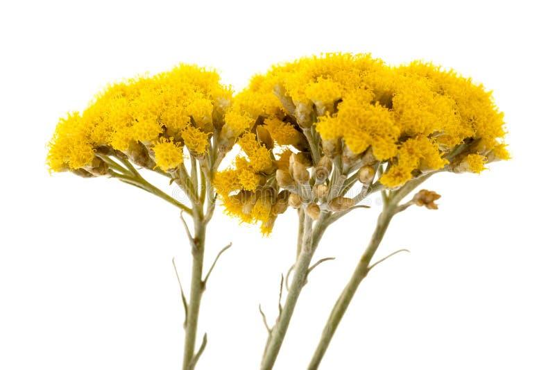 Helychrysum fotos de stock royalty free