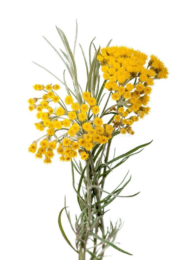 Helychrysum imagem de stock