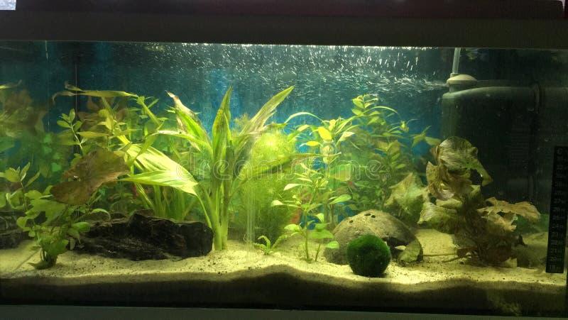 Hem- axolotlakvarium royaltyfria foton