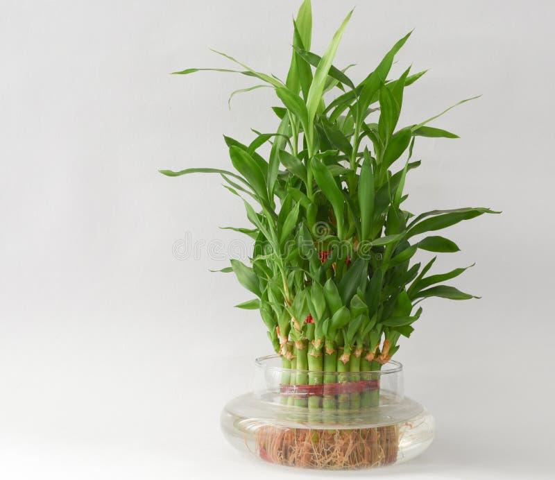 Hem- bambuvattenväxt i en vattenflaska royaltyfri bild
