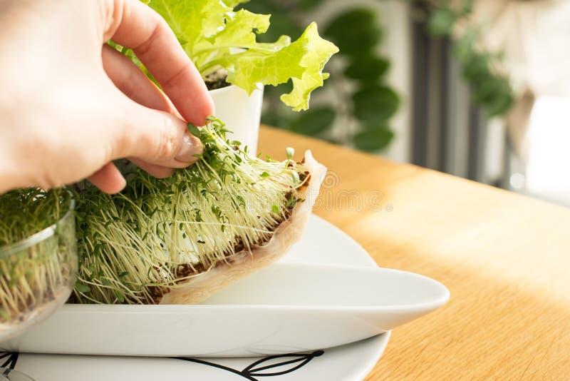 Hem- - fullvuxna gräsplaner, vitaminer, vegetarisk mat, rå foods, källkrasse, rotar och att växa växter utan jord arkivfoto