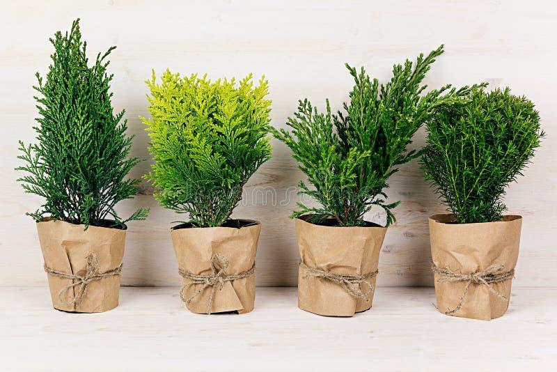 Hem- garnering av gröna barrträdväxter för olikt barn i krukor med kopieringsutrymme på den beigea wood tabellen royaltyfri fotografi