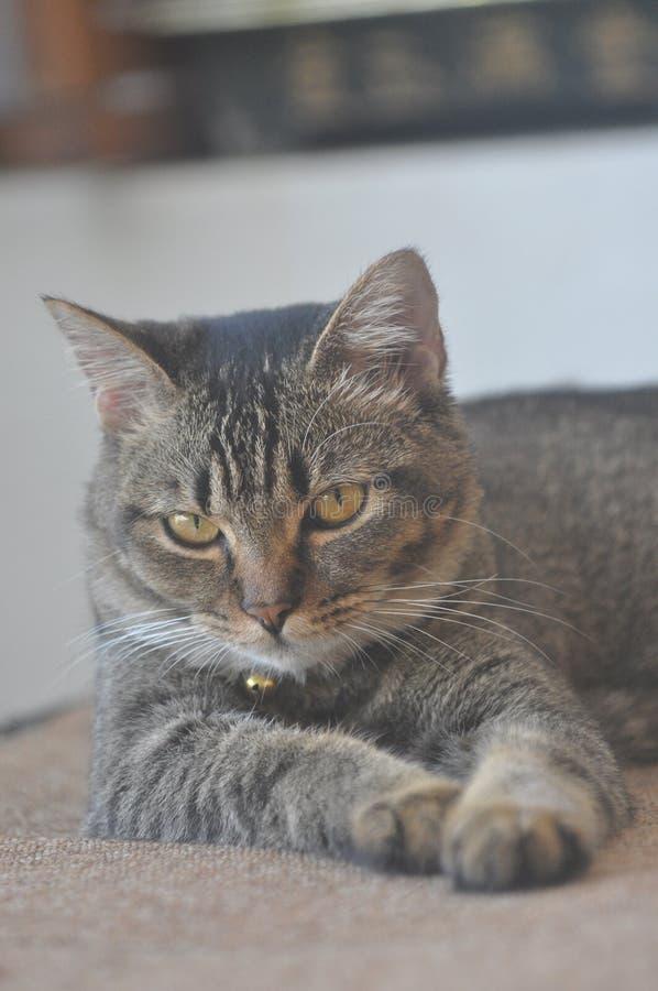 Hem- katter royaltyfria bilder